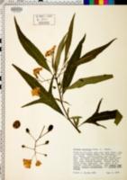 Image of Solanum aviculare