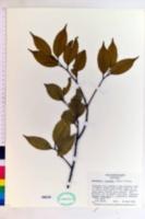 Image of Castanopsis cuspidata