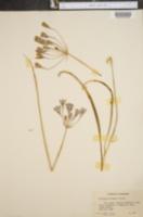 Brodiaea bridgesii image