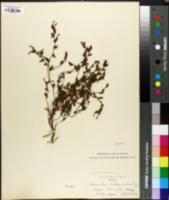 Image of Diplacus constrictus