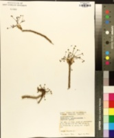 Euphorbia ipecacuanhae image