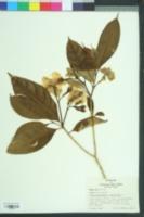 Image of Tabernaemontana citrifolia