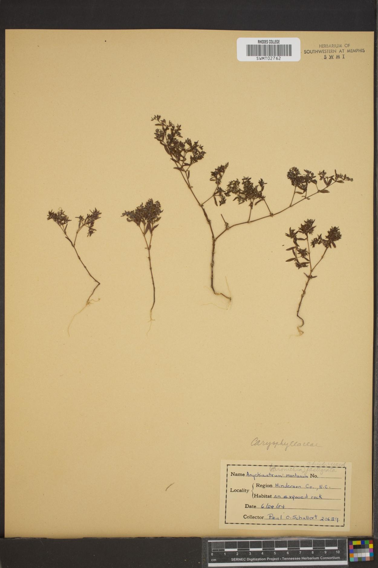 Anychiastrum montanum image