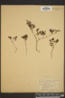 Image of Anychiastrum montanum