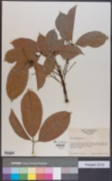 Image of Hevea nitida