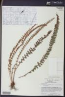 Astrolepis windhamii image