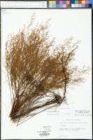 Lechea cernua image