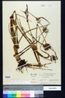 Tradescantia ohiensis image
