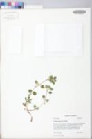 Lysimachia japonica image
