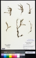 Image of Minuartia marcescens