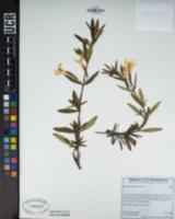 Diplacus aurantiacus image