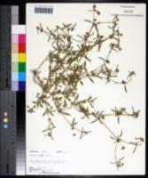 Gisekia pharnacioides image