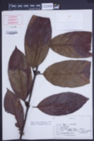 Image of Coffea robusta