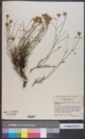 Perityle gilensis image