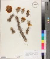 Cylindropuntia acanthocarpa var. ramosa image