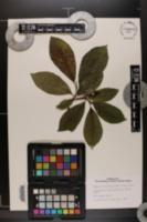 Image of Magnolia salicifolia