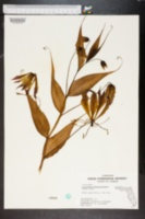 Gloriosa rothschildiana image