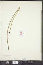 Equisetum fluviatile image