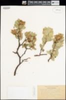 Arctostaphylos drupacea image