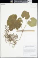 Image of Vitis vinifera