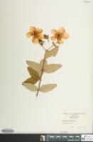 Image of Hypericum calycinum