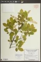 Prunus serotina image