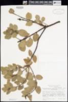 Arctostaphylos crustacea subsp. eastwoodiana image