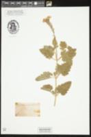 Image of Verbena aubletia
