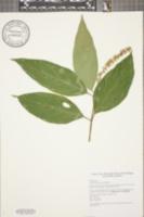 Image of Citharexylum cooperi