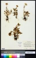 Ranunculus macranthus image