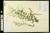 Linum striatum image