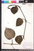 Epipremnum aureum image