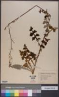 Lactuca hirsuta var. sanguinea image