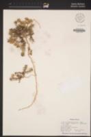 Image of Ipomopsis crebrifolia