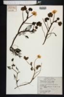 Image of Ranunculus peltatus