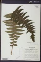 Image of Dennstaedtia wercklei