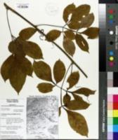 Cardiospermum grandiflorum image