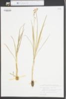 Oxytria crocea image