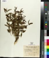 Image of Hybanthus bigibbosus