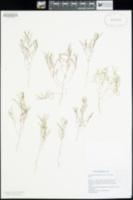 Image of Camissonia parvula