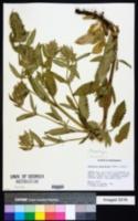 Image of Physostegia parviflora