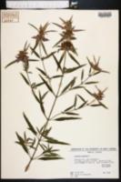 Monarda punctata image