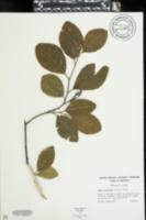 Alnus serrulata var. subelliptica image