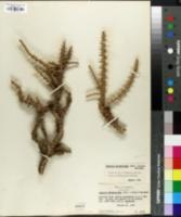 Image of Junellia seriphioides