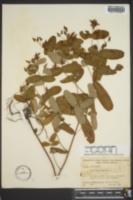 Triadenum virginicum image