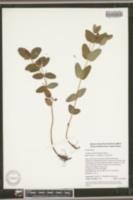 Triadenum fraseri image