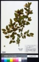 Lonicera × bella image