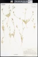 Gilia inconspicua image