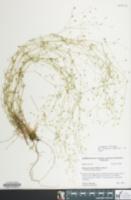 Image of Minuartia patula