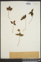 Image of Anemone lyallii